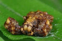 Bird Dung Spider | Found in Asia from Indonesia to Japan. Its body is covered on blobs and warts look like fresh piece of bird excrement. It often produces a small thread of unit silk and sits on it, so that it looks like the white stains caused by bird droppings falling on to leaves. It also smells like poop becuase of camouflage look Bird dund crab spider is unoppetizing prey for most animals and it serves as a lure for the small, excrement loving insects are these spiders favorite prey.