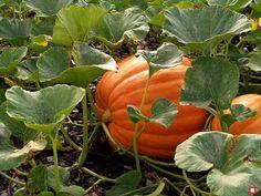Pumpkin Varieties: Best Bets and Easy-to-Grow Pumpkin Vine, Pumpkin Garden, Pumpkin Farm, Autumn Garden, Pumpkin Plants, Gold Pumpkin, Organic Gardening, Gardening Tips, Vegetable Gardening