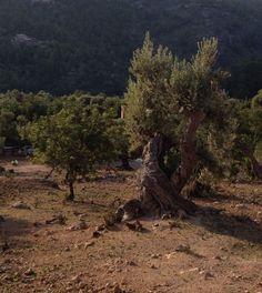 500 y.o. olives