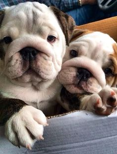 "Photo: English Bulldog puppies | ""16 Reasons English Bulldogs Aren't The Friendly Dogs Everyone Says They Are "" by Lisa Jones  - Aug 7, 2015 