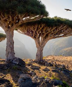 With UFO-like dragon's blood trees as its most notable feature, the island of Socotra, in Yemen, looks like it was transported to Earth from a distant planet. Read more: The 50 Most Beautiful Places in the World Socotra, Beautiful Places In The World, Places Around The World, Amazing Places, Dragon Blood Tree, Foto Nature, Strange Places, Jolie Photo, Natural Wonders
