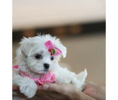 Puppies for Free No Pay | Pay as Low as $50 a Month!!! We Offer Financing!! No Money down is a ...