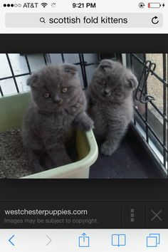 I want one. Scottish Fold Kittens For Sale New York NY