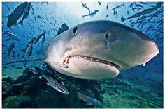 "Chris Leidy Photography: ""Big Fish"" Tiger Face #ChrisLeidy #photography #underwater #ocean #underthesea Website: http://www.leidyimages.com/"