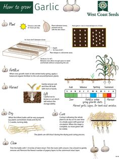 This infographic explains how to grow garlic. Partake in this traditional fall…