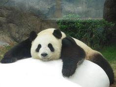 #Panda at Ocean Park in Hong Kong