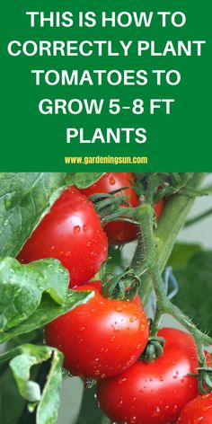 This is How to Correctly Plant Tomatoes to Grow 5–8 ft Plants - Gardening Sun