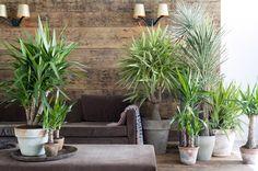 Yucca, woonplant van januari 2015 - fotografie: Bloemenbureau Holland
