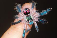 The tiny yet stunning Brazilian Jeweled Tarantula. Beautiful Bugs, Beautiful Morning, Mundo Animal, My Animal, Pet Tarantula, Mouse Deer, Maned Wolf, Baby Cheetahs, Poison Dart Frogs