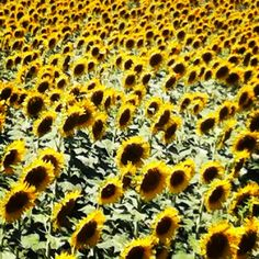 Sun flowers Marche Italy July 2012