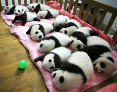 Panda naps...A group of giant panda cubs nap at a nursery at the research base of the Giant Panda Breeding Centre in Chengdu, in southwest China's Sichuan province. animals