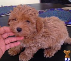 MALTIPOO PUPPY RED COLOR, $399 GORGEOUS TINY BOY TEL..909 9676417 - Maltipoo Puppies for Sale