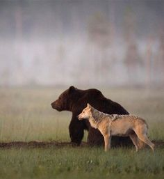 """photos by lassi rautiainen, susan brookes and staffan widstrand of a rare friendship that developed between a female grey wolf and a male brown bear in northern finland. notes lassi, """"no one can know. Black Bear, Brown Bear, Black Wolves, Wildlife Photography, Animal Photography, Animals Beautiful, Cute Animals, Wild Animals, Baby Animals"""