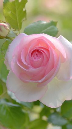 Flickr Purple Roses, Pink Flowers, Beautiful Roses, Beautiful Flowers, Hybrid Tea Roses, Pink Garden, Rose Wallpaper, Love Rose, Rose Cottage