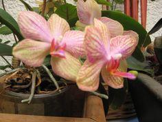 orquídeas = buena fortuna....las moradas = abundancia