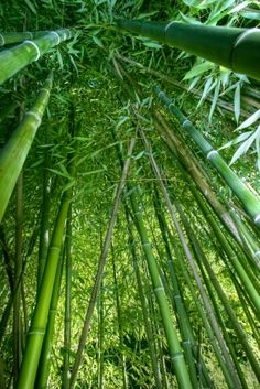 Find Wide Angle Inside Bamboo Forest stock images in HD and millions of other royalty-free stock photos, illustrations and vectors in the Shutterstock collection. Thousands of new, high-quality pictures added every day. Bamboo Landscape, Bamboo Garden, Bamboo Fence, Bamboo Plants, Bamboo Tree, Natural Building, Green Life, Tropical Garden, Exotic Flowers