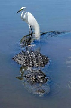 Heron hitching a ride on an alligator (or is it a croc?)