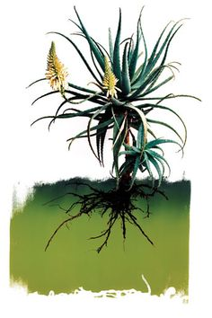 A botanical poster of an aloe by Clinton Friedman Agaves, Impressions Botaniques, Poster Online, Canvas Artwork, Botanical Prints, Natural World, Vintage Flowers, Flower Power, Beautiful Flowers