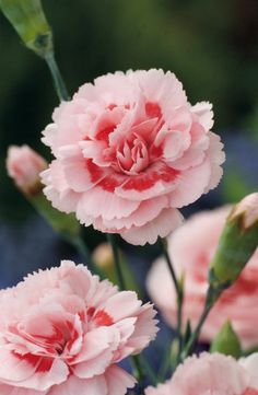 Pink Carnation 'Doris'  One of my most favourite flowers!
