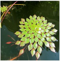 Mosaic or Ludwigia sedioides Floating Plant 2 Floating Pond Plants, Floating In Water, Pond Landscaping, Ponds Backyard, Tropical Landscaping, Water Garden Plants, Garden Pond, Water Plants For Ponds, Bog Plants