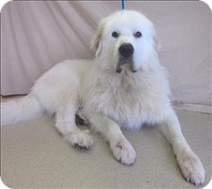 10/6/14 Rochester Hills, MI - Great Pyrenees. Meet Norris, a dog for adoption. http://www.adoptapet.com/pet/11693787-rochester-hills-michigan-great-pyrenees