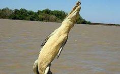 Image result for australian saltwater crocodiles