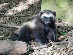 Meet 'Sunshine', 'Liv' and 'Gutt': the new Wolverine cubs at Cotswold Wildlife Park, in the UK. After spending approximately nine weeks hidden away in their den, the rare cubs are beginning to venture out and explore their new woodland enclosure under the watchful eye of parents 'Sarka' and 'Sharapova'.