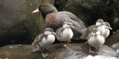 New Zealand's threatened species of rare native duck, the whio, is making a comeback after a bumper breeding season. Herald News, Reptiles And Amphibians, Bird Feathers, Kiwi, Pet Birds, New Zealand, Madness, Nativity, Scenery