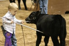 OH MY GOSH. if this isn't adorable idk what is!You can find Showing livestock and more on our website.OH MY GOSH. if this isn't adorable idk what is! Little Cowboy, Little Boys, Cute Kids, Cute Babies, Farm Animals, Cute Animals, Show Cows, Show Cattle, Showing Livestock