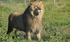 Bulgaria�s Last 2 Circus Lions Experience Grass and Freedom for the First Time in Their New Home
