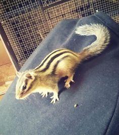 Disponibili 3 scoiattoli Tamia ( scoiattoli Giapponesi ) appena svezzati sia maschi che femmine, nati nel nostro allevamento Esotic Farm dalle nostre coppie I piccoli sono tutti e 3 abituati...