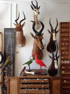 Taxidermy Red Hartebeest, Impala, Springbok and Blesbok. Mandibles, Cape Town. @mandiblescollection