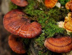 """Ganoderma lucidum, el """"Hongo de la Inmortalidad"""""""