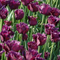 Gorilla Fringed Tulip