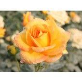 wholesale tea roses plants