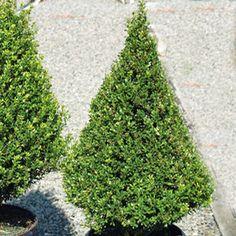 Buy Ilex Patti O Shrubs Online. Garden Crossings Online Garden Center offers a large selection of Ilex Plants. Shop our Online Shrub catalog today.