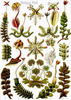 Art Forms in Nature: Prints of Ernst Haeckel Botanical Drawings, Botanical Illustration, Botanical Prints, Antique Illustration, Botanical Posters, Science Illustration, Flower Drawings, Botanical Decor, Ernst Haeckel Art