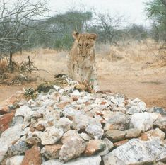 A young Lion, holding a twig in this mouth, visits George Adamson's  Grave the day after his burial