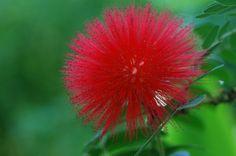 calliandra haematocephala  looks like a sea urchin!!