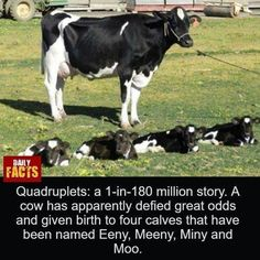 Cow gives birth to quadruplets a 1 in 180 million chance. A cow in Northeast Texas has apparently defied great odds and given birth to four calves they have been named Eeny, Meeny, Miney and Moo Large Animals, Animals And Pets, Baby Animals, Funny Animals, Cute Animals, Gado Leiteiro, Baby Cows, Cute Cows, Stuffed Animals