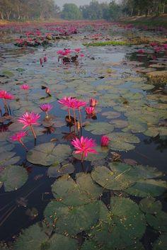 sukhothai lily pads | flowers + nature photography #naturephotographytips,