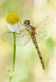 Dragonfly by Espartano on 500px