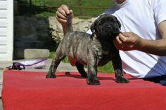 104 Best Presa Canario Images Dog Breeds Bully Dog