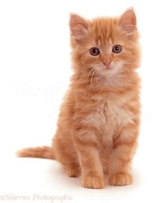 WP05316 Fluffy ginger kitten Crusoe Robinson . 8 weeks old. More at - Catsincare.com