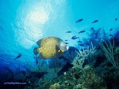 French Angelfish (Pomacanthus paru), Caribbean ~ photo by B N Sullivan for TheRightBlue.com