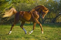 Brasov is a 22 year old registered chestnut Arabian stallion who stands at 16.0hh with a temperament of 7.