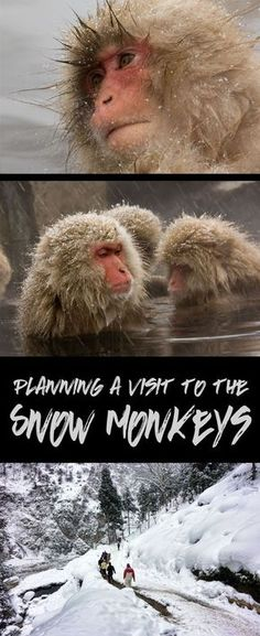 The Japanaese Macaque, or snow monkeys, are a highlight of a winter visit in Japan. In this post we help you plan your visit from Tokyo to their onsen in Nagano, Japan. the real japan, real japan, resources, tips, tricks, inspiration, idea, guide, japan, japanese, explore, adventure, tour, trip, product, tool, map, information, tourist, plan, planning, tools, kit, products http://www.therealjapan.com/subscribe