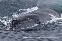 Humpback whale mugs the boat...and more! - http://condorexpress.com/humpback-whale-mugs-boat/