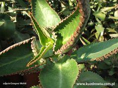 Żyworódka Pierzasta (kalanchoe) jest niczym domowa apteczka. Liście oraz sok z żyworódki stosuje się wewnętrznie i zewnętrznie na niegojące rany, zmianny skórne, swędzednia Plant Leaves, Plants, Diy, Health, Bricolage, Diys, Planters, Handyman Projects, Do It Yourself