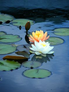 Water lilies add to life in natural settings or ponds and water features anywhere.